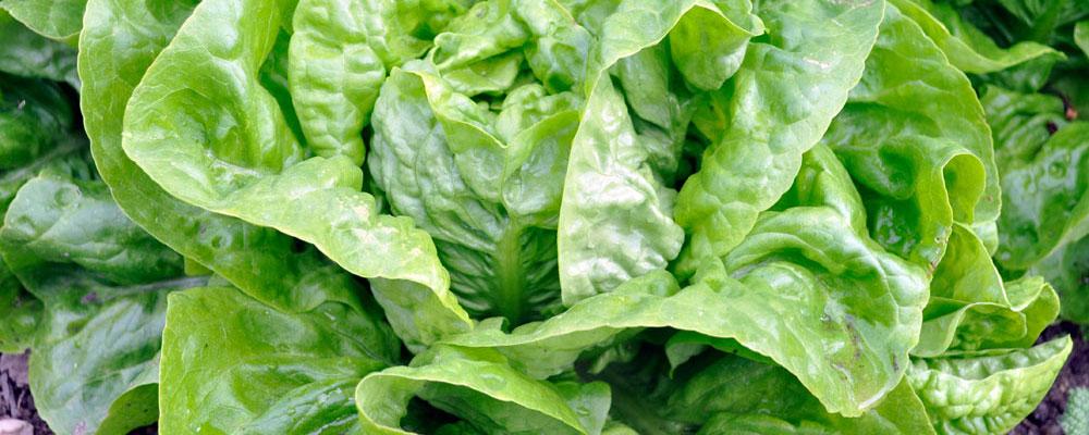 Salat Bautzener Dauerkopf
